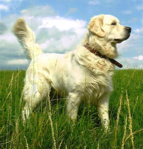 Golden Retriever Eddi